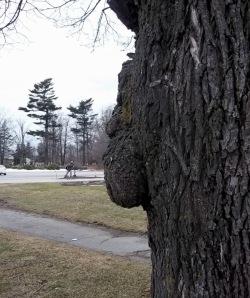 tree burl, tree face